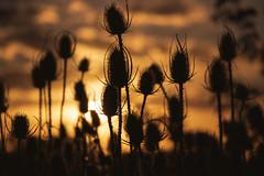 Cardos (Ce Rey) Tags: sunset ocaso atardecer siluetas silueta cardos thistles plantas yuyos contraluz backlit backlight silhouettes canoneos80d sol plants