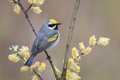 Golden-winged Warbler (www.studebakerstudio.com) Tags: goldenwinged warbler goldenwingedwarbler bird songbird michigan willow studebaker