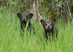 Black Bear cubs...#15 (Guy Lichter Photography - 4.7M views Thank you) Tags: canon 5d3 canada manitoba rmnp wildlife animals mammals bear bears blackbear cub