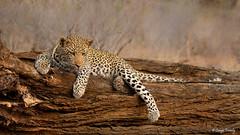 Wild Leopard in South Africa (Bruno Conjeaud) Tags: leopard southafrica kruger pantheraparduspardus pundamaria léopard natureinfocusgroup