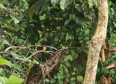 African pygmy kingfisher, Nsuta Forest Reserve in Ghana (inyathi) Tags: africa westafrica ghana africanwildlife africananimals africanbirds birds africanpygmykingfisher ispidinapicta kingfishers nsutaforestreserve