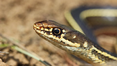 Chaparral whipsnake (Masticophis lateralis lateralis) (phl_with_a_camera1) Tags: chaparral whipsnake masticophis lateralis