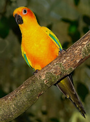 Sun Parrot (Uhlenhorst) Tags: 2007 australia australien animals tiere birds vögel travel reisen coth coth5