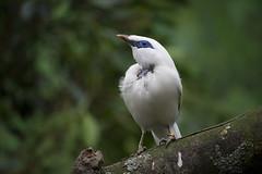 Balispreeuw (KevinVar) Tags: bird rotterdam zoo myna