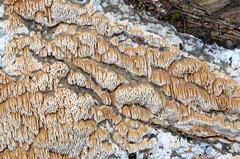 Vaik-sarvpoorik; Ceriporiopsis resinascens; petsikääpä (urmas ojango) Tags: seened fungi petsikääpä polyporales torikulaadsed steccherinaceae ceriporiopsis sarvpoorik ceriporiopsisresinascens vaiksarvpoorik