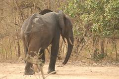 Savanna elephant, Mole National Park, Ghana (inyathi) Tags: westafrica ghana africananimals africanelephants savannaelephants loxodontaafricana molenationalpark elephants nationalpark safari africa