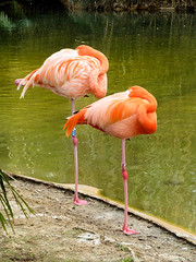 Legless Flamingos (Wookey Hole) Tags: flamingo sleeping legless
