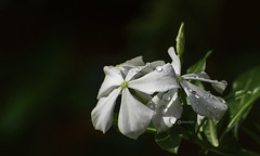 """""""The gratitude ... should be commensurate with the boundless blessings which we enjoy."""" (Ramalakshmi Rajan) Tags: periwinkle white flowers flower nikkor70300mm inmygarden nikon nikond750 quotes"""