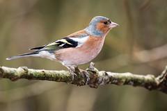Chaffinch (Richard J Hunt) Tags: woods 700d canon formby birdwatching bird chaffinch