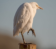 DSC4831  Cattle Egret.. (Jeff Lack Wildlife&Nature) Tags: cattleegret cattle egret egrets birds avian animal animals wildlife wildbirds wetlands waterbirds waders waterways wildlifephotography jefflackphotography reservoirs fields farms farmland lakes countryside nature