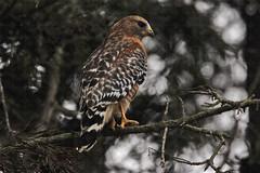 Red shoulder Hawk 33 (ahmed_eldaly) Tags: sandiego california usa nature birds birding wildlife photography egyptianphotographer