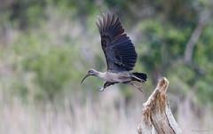 Hadeda Ibis-5371 (Theo Locher) Tags: birds bostrychiahagedash hadeda hadedaibis oiseaux vogels vögel zuidafrika southafrica tomjachubushretreat tomjachu crocodilevalleynatureconservancy nelspruit copyrighttheolocher
