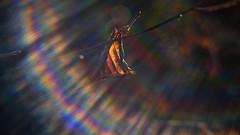 . . . rainbow flares (orangecapri) Tags: orangecapri hss sliderssunday lensflare flare 442 helios442 xt2 vintagelens bokeh rainbow leaf color colour outside nature tree m42 vintageprime helios