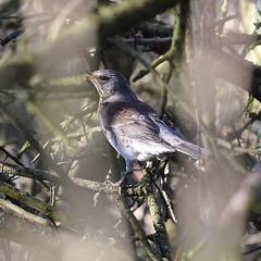 Fieldfare hiding in the trees (MJ Harbey) Tags: fieldfare turduspilaris animalia aves bird passeriformes turdidae thrushfamily trees branches miltonkeynes buckinghamshire nikon d3300 nikond3300