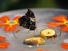 Pause (1elf12) Tags: bremen butterfly schmetterling insect insekt botanika mendehaus germany deutschland
