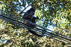 Wire Walker D7C_8496 (iloleo) Tags: monkey wildlife animal animalplanet nature costarica nikon d750