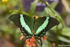 Emerald Swallowtail Butterfly (Daveoffshore) Tags: butterfly insect leaf plant flower wing colour colourful vivid green emerald swallowtail