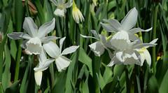 White Daffodils (davidwilliamreed) Tags: white daffodils plants nature blooms blossoms spring springtime flowers atlantabotanicalgarden atlantaga fultoncounty