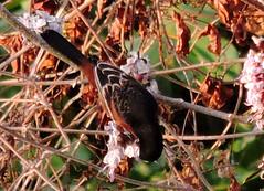 Orchard Oriole, Icterus spurius (asterisktom) Tags: chiapas mexico oaxaca 2019 march puertoescondido bird vogel ave 鸟 птица 鳥 pajaro coastal mexico2019janmarch