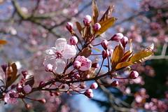 Blutpflaume (ivlys) Tags: deutschland allemagne germany hessen bergstrase mountainroad blutpflaume prunuscerasifera blüte blossom baum tree frühling spring natur nature ivlys