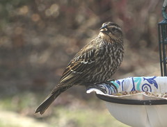 Female Red-winged Blackbird IMG_1311 (Ted_Roger_Karson) Tags: canonpowershotsx280hs northernillinois handheldcamera canonpowershot add tags birds bird feeder woodpecker redbellied back yard friends backyard northern illinois canon sx280 hs powershot miniature compact pocket camera male seed cake zoom animals suet telephoto thisisexcellent twop test photo hand held minicompact food bell downy hairy