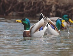 The best things in life are the People we love, the Places we've been, and the Memories we've made along the way. —unknown (Melinda G Pix) Tags: frolic nature birds hunting fun outdoor mallard waterfowl duck