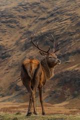 Stag (waynehavenhand1) Tags: glen monarch elaphus cervus highlands scotland animal antlers stag red deer
