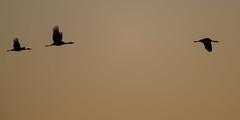 Morning Flight (jeff_a_goldberg) Tags: platteriver gruscanadensis spring wildlife sunrise kearney bif crane bird fortkearnystaterecreationarea centralplatterivervalley silhouette sandhillcrane birdinflight nebraska nature gibbon unitedstatesofamerica us