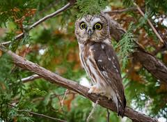 Saw-Whet Owl (Jamie Lenh Photography) Tags: nature wildlife birds owls northernsawwhetowl nikon tamron jamielenh ontario canada