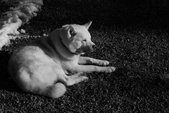 Enjoying the spring sun (eba5684) Tags: akita akitainu bw blackandwhite dog black white nikkor nikon animal spring sun snow