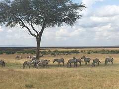 IMG_1578 (suuzin) Tags: masai mara safari