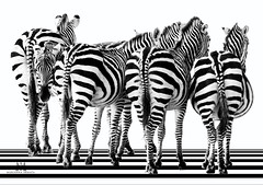 zebra crossing (marianna armata) Tags: p3040403 zebra stripes lines curves bwblackandwhite monochrome contrast onwhite greyscale mariannaarmata animal grandbyzoo winter snow back sides tails bums opposite facing forward hss