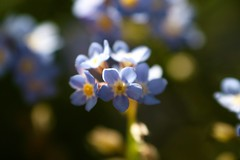 Myosotis     Industar 58 u  75 mm F 3.5 (情事針寸II) Tags: ngc マクロ撮影 自然 花 勿忘草 bokeh oldrussianenlargerlens light blue macro nature fleur flower forgetmenot myosotis industar58u75mmf35