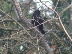 Blackbird Male in the mol hedge (river crane sanctuary) Tags: blackbird male rivercranesanctuary bird