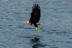 One Kokanee Down (Beve Brown-Clark) Tags: baldeagle bird birdofprey birds kokaneesalmon salmon raptor nature wildlife ©bevebrownclark