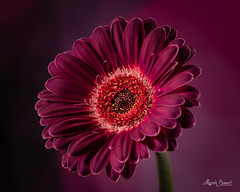 Purple gerbera (Magda Banach) Tags: canon canon80d sigma150mmf28apomacrodghsm colors flora flower gerbera macro nature plant plants purple