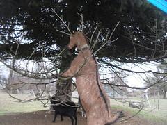 SDC15428 (Samlepanda) Tags: chèvredebout chèvre campagne nature verdure