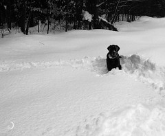 How to shovel without effort ... (bd168) Tags: trees forest snow winter hiver landscape dog animal chien labrador em10markii m1240mmf28 monochrome