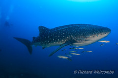 A huge Whale Shark (Rhincodon typus) in a clear, blue tropical ocean (Koh Bon, Similan Islands, Thailand) (WhitcombeRD) Tags: sharks whaleshark tropicalfish big fish whale reef philippines kohbon sea snorkeling majestic diving swimming life coralreef silhouette water deep surface background nature diver asia caribbean wild huge coral indonesia aquatic exotic scuba typus similan clear sun blue underwater wildlife rhincodon travel swim shark tropical animal ocean fauna giant marine thailand