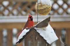 on a date ~ HFF! (karma (Karen)) Tags: baltimore maryland home backyard birds cardinals fences feeders dof bokeh hff topf25 cmwd