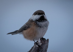 Siberian Tit (MrBlackSun) Tags: scenery kuusamo nature photography wildlife bird birds birdlife birdlover birdwatcher nikon d850 finland