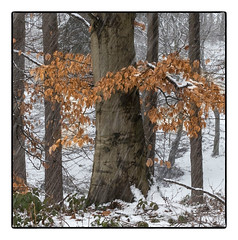 A splash of colour. (47mki) Tags: wood snow beech leaves winter helmsley nyorkmoors