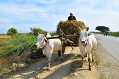 Myanmar (Neal J.Wilson) Tags: myanmar burma burmese asia asian travel travelling people working horse cart transport road countryroad