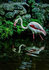 Two tones... (Pedro1742) Tags: flamingo reflections water