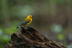 Prothonotary Warbler (Brian_Harris_Photography) Tags: prothonotary warbler yellow black grey brown blue green portrait migration marsh male nature wildlife exposure creek tree hiking nikon nikkor lens light sunlight sunshine refuge