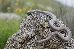 Coastal Rosy Boa (DevinBergquist) Tags: rosyboa boa lichanura snake herping fieldherping california ca wildlife nature