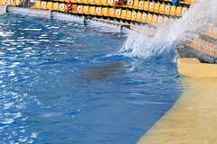 Splash! [3] (Ian R. Simpson) Tags: orca whale animal killerwhale loroparque zoo tenerife canaryislands spain swimming pool water splash audience puertodelacruz