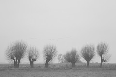 hunting high and low (Mindaugas Buivydas) Tags: lietuva lithuania winter december bw fog mist tree trees willow bird birds minimal minimalism sadnature delta nemunasdelta mindaugasbuivydas