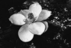 Magnolia Bloom on a Low Branch (kinglear55) Tags: flower magnolia monochrome blackandwhite film ishootfilm olympus om10 kodak tx400 danscamera adobe elements art photography
