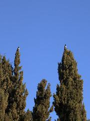 Find the Differences (zeevveez) Tags: זאבברקן zeevveez zeevbarkan canon crow cypress caption